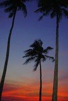 palms in Goa