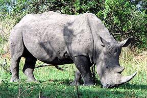08_SA_rhino.jpg