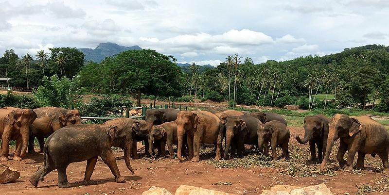large_SriLanka_ElephantsFeeding.jpg