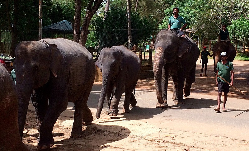 large_SriLanka_ElephantsWalking.jpg