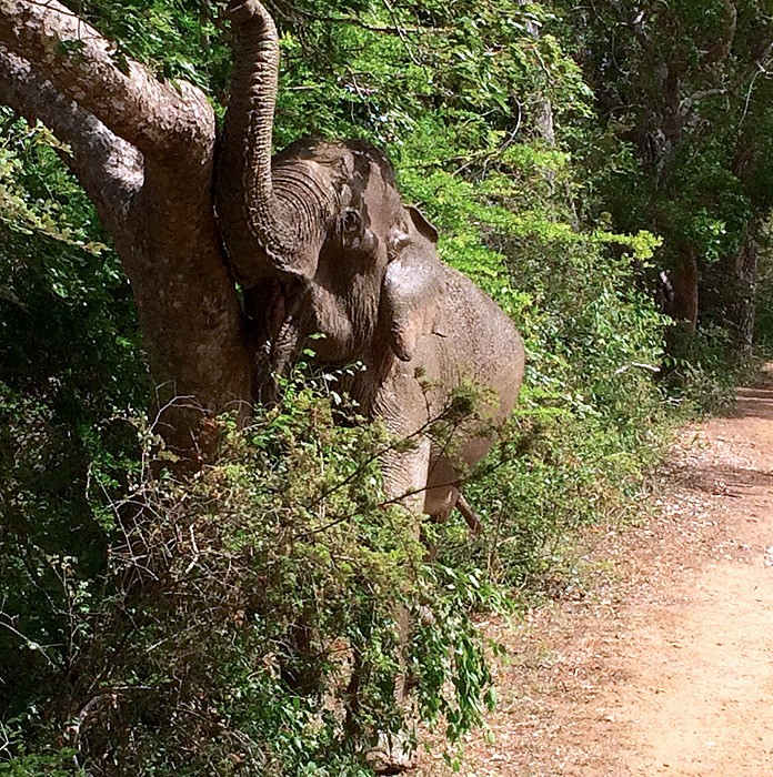 large_SriLanka_SafariElephantMunch.jpg