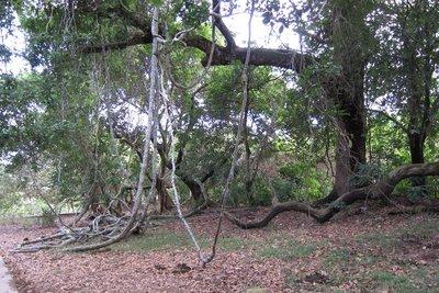 荔枝窩自然步道 白花魚藤