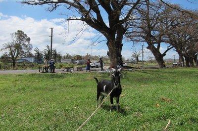 Goat in Lautoka