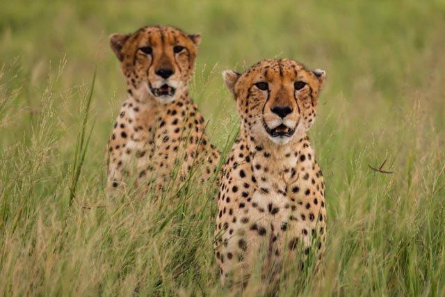 Cheetahs at Dawn
