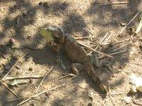 igunana at the crocodile habitat