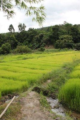 Village Rice Fields