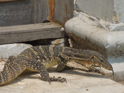 Monitor lizard in the park