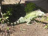 LOOK AT THE IGUANA