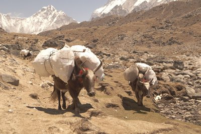 Yaks on the Mount Everest trail