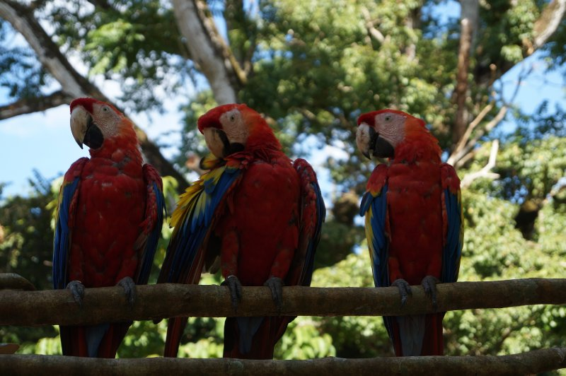 Three macaws posing for posterity near the ruins...