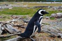 Penguins (46)