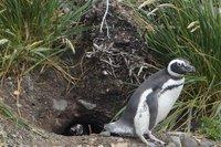 Penguins (62)