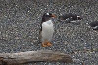 Penguins (85)