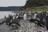 Penguins (91)