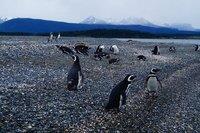 Penguins (93)
