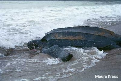 leatherback-pic