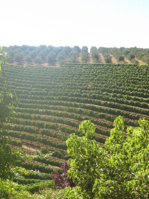 Wine yards - Garden Route outside Stellenbosch