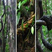 ayahuasca_plant.jpg