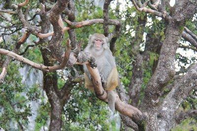 Monkey on Goddess Mountain