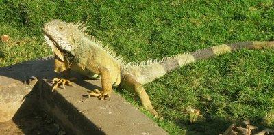 Iguana Guayaquil~2