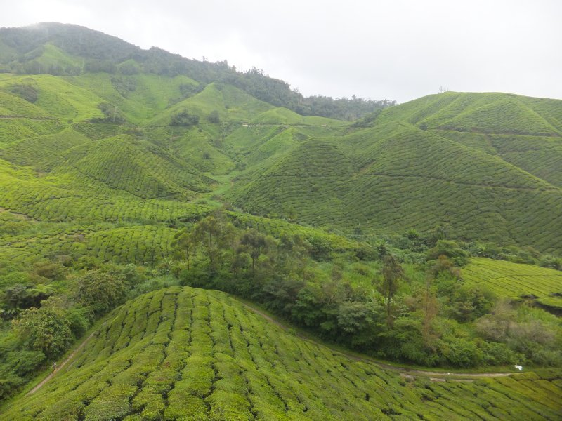 View from Tea House in Sungai Palas Boh Tea Estate