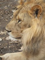Lion - Safari Volunteer