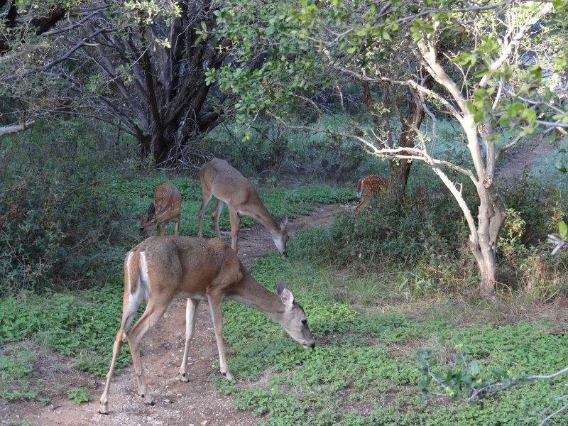 Deer in the campsite