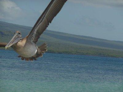 Bruine pelikaan