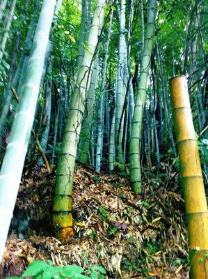 Bamboo Fantasies in Takehara
