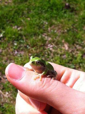 "Little Musical Buddy: ""Amagaeru"" (Rain Frog)"