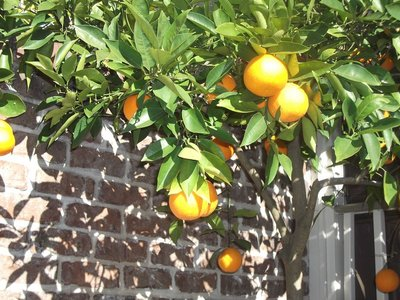 Oranges do grow on trees!