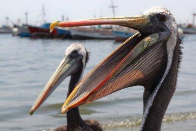 Happy Pelicans