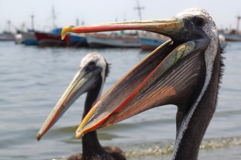 Happy Pelicans