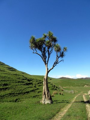 Cabbage Palm Native to NZ