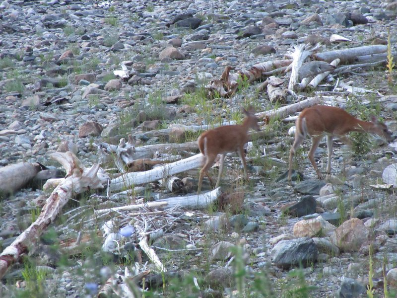Doe and Adolescent