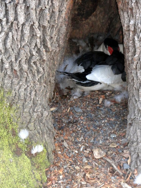 Duck's Nest in Tree Trunk