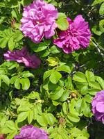 Swet-Smelling Wild Roses