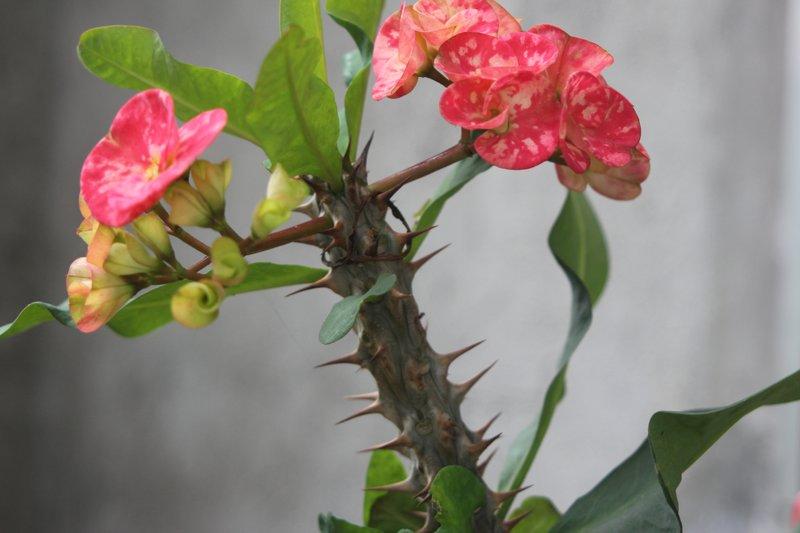thorny beauty