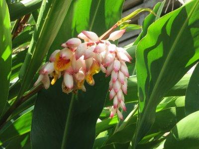 Domnica flower