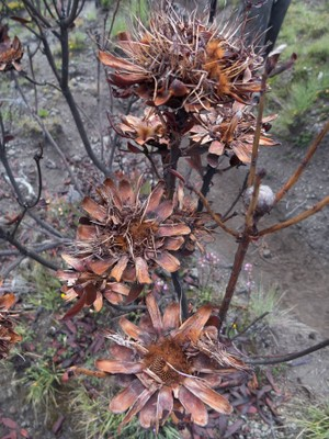 Burnt protea on slopes of Mt Kenya