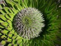 Lobeilia leaf pattern