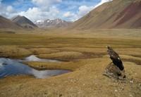 Golden Eagle and Altai Mountains
