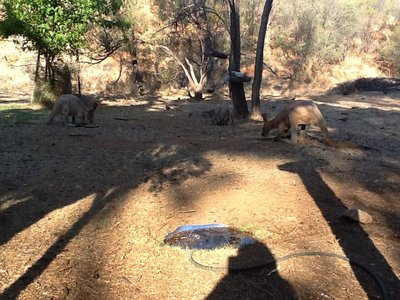 Aangekomen in B&B Alice Station, waar dagelijks in de tuin eten wordt gegeven aan kangoeroes door onze gastvrouw