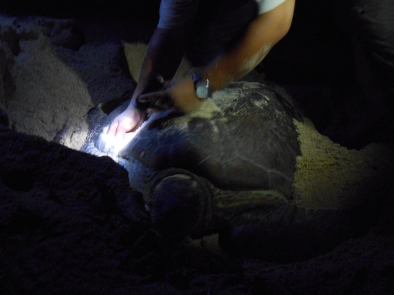 Ranger measuring a Green Turtle on Turtle Island in Borneo