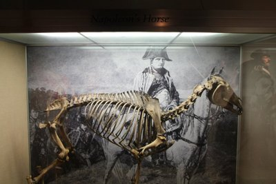 Napoleon's horse @National Army Museum