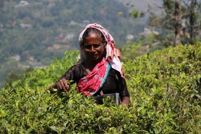Picking Tea in Ella