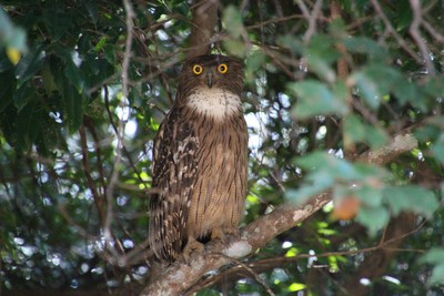Owl at Kaudulla
