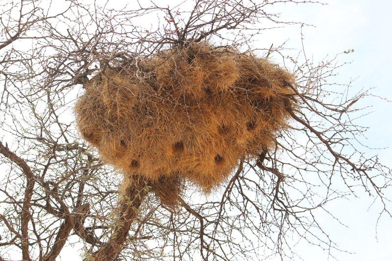 Social Weaver Bird Nest