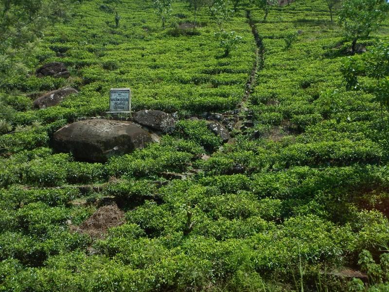 Tea Plantations along the Kandy to Ella train track