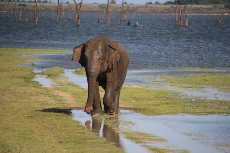 Lone elephant at Kaudulla